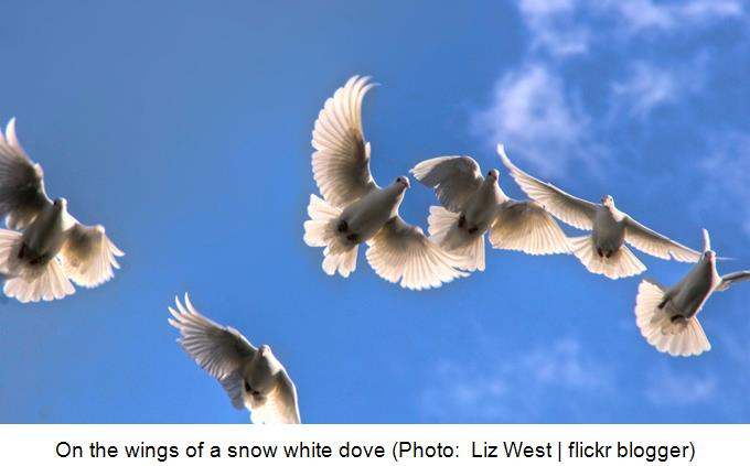 On the wings of a snow white dove -  Liz West - flickr blogger